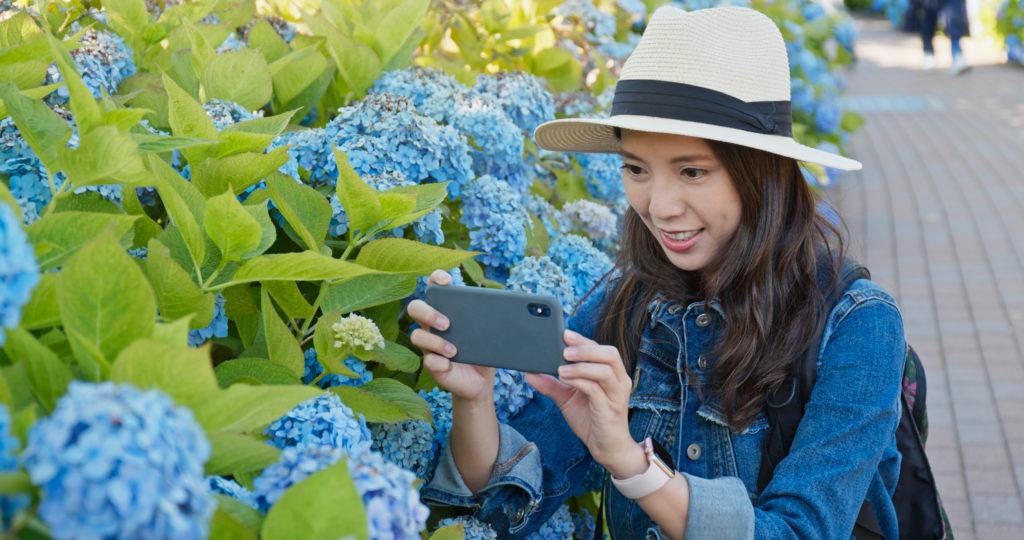 Woman take photo in blue Hydrangea flower garden